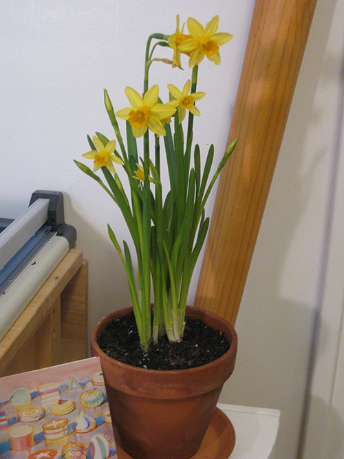 yellow potted daffodils
